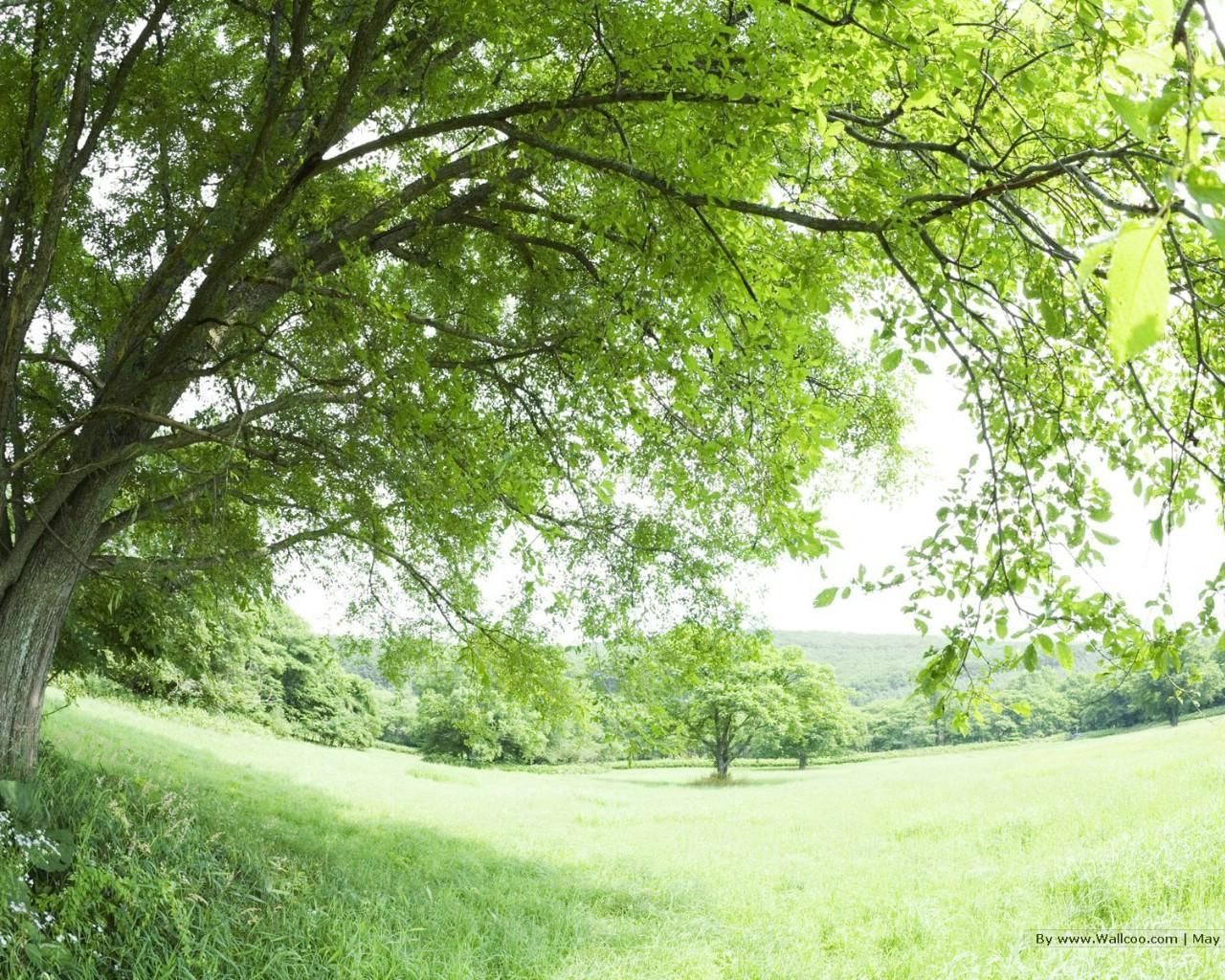 大树风景桌面壁纸_壁纸1280×1024夏天原野与树木图片 阳光草原风景壁纸,阳光草原 ...