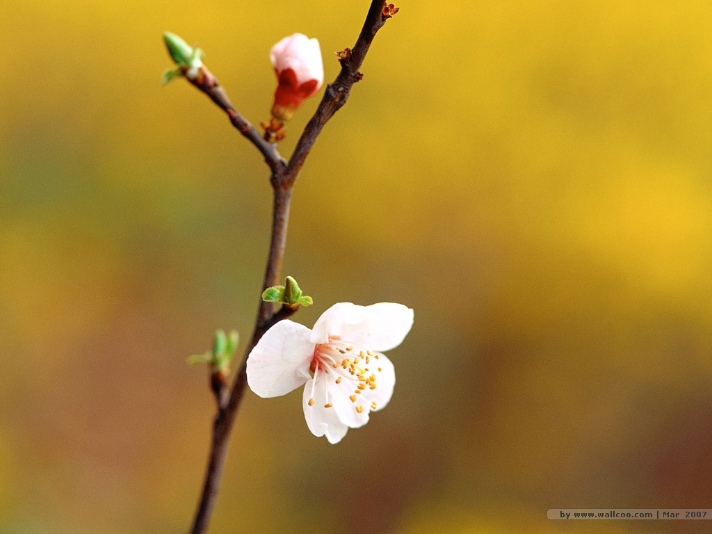 壁纸1024×768二 春天花卉图片壁纸 Desktop Wallpaper of Spring Flowers壁纸 春暖花开壁纸图片花卉壁纸花卉图片素材桌面壁纸