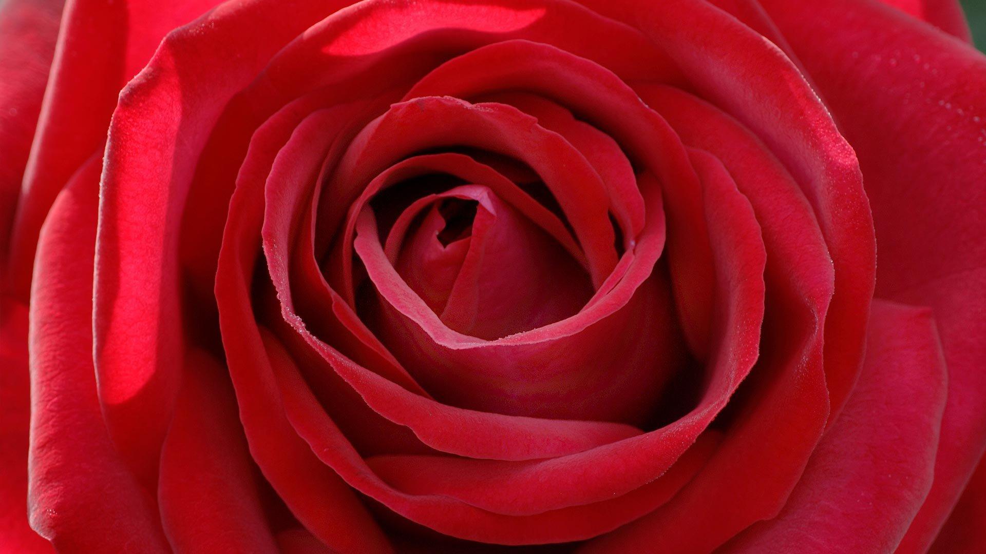 玫瑰壁纸桌面_高清玫瑰花桌面壁纸