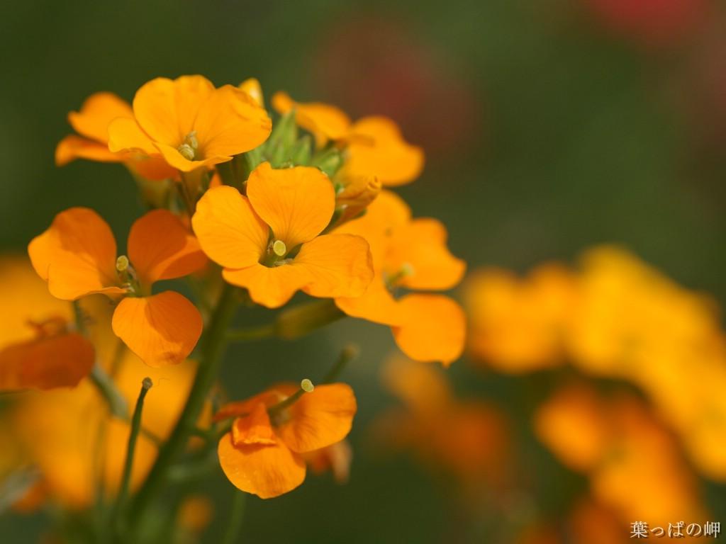 壁纸1024×768数码相机花卉摄影壁纸 八 野花图片 数码相机拍摄的野花壁纸壁纸 个人花卉摄影壁纸八壁纸图片花卉壁纸花卉图片素材桌面壁纸