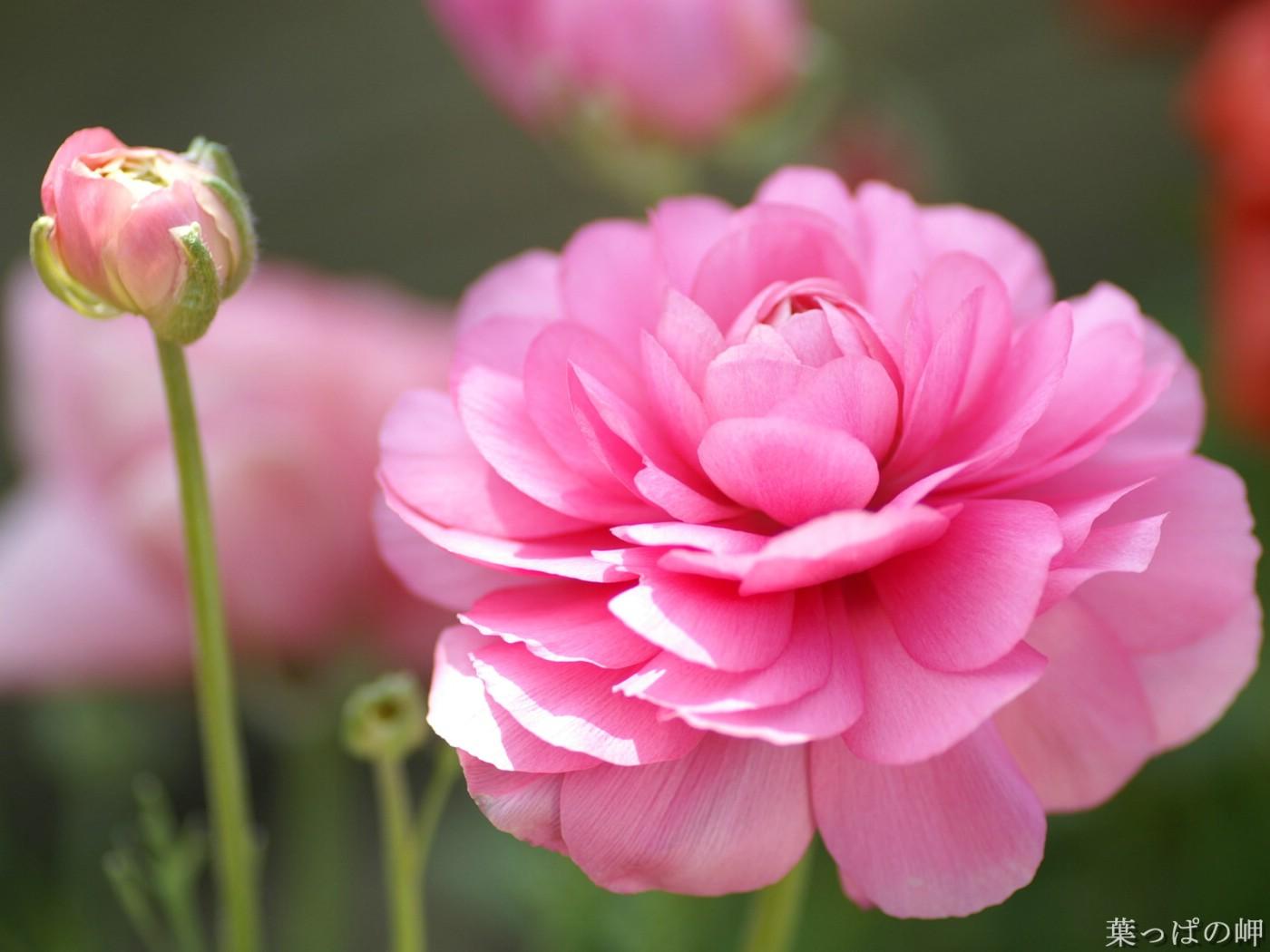 Розы миниатюрные горшечные и садовые