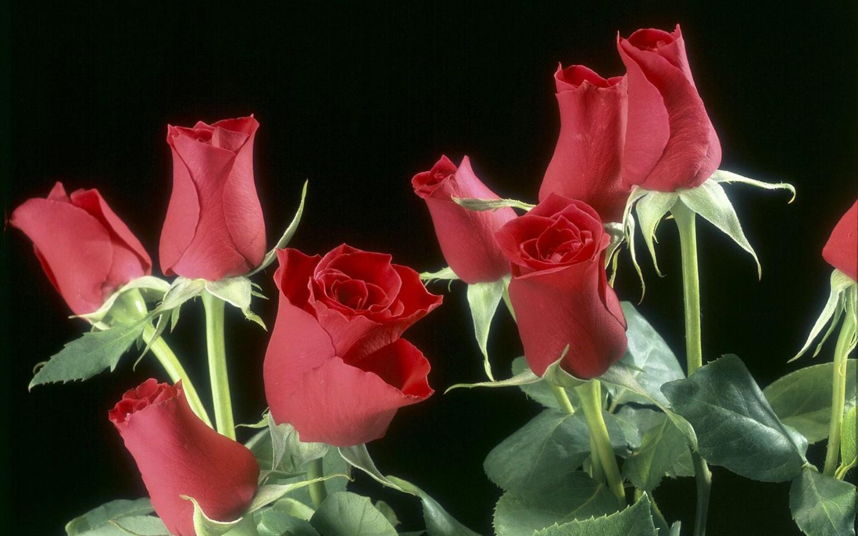 玫瑰花绽放 999朵玫瑰花图片