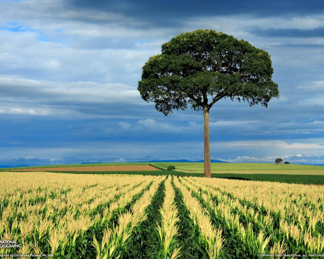国家地理杂志每日一图2010五六月摄影壁纸 巴西圣保罗的玉米田图片