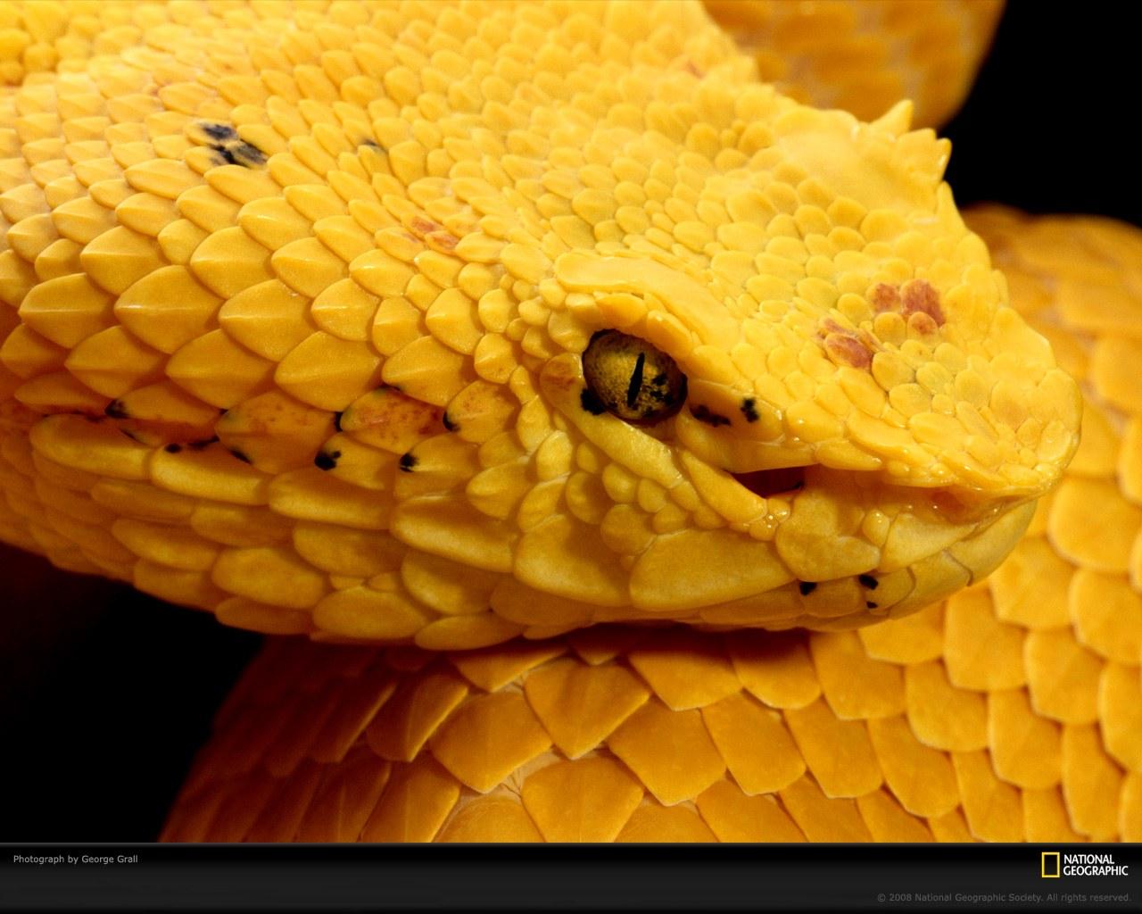 蝰蛇是中美洲和南美洲土生土长的品种 它们有着多种颜色的外高清图片